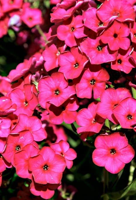 Staudenphlox 'Raving Beauty'
